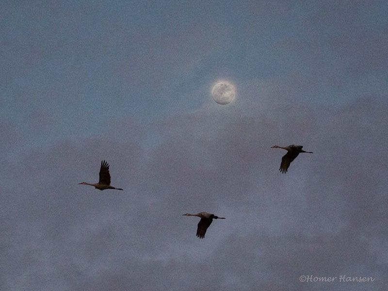 Duncan-Sandhill-Cranes-by-Moon.jpg