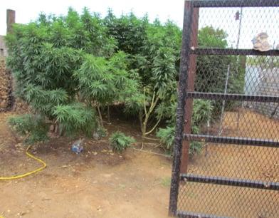 Hess marijuana field