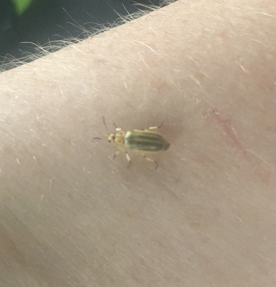 200708-news-beetle1.JPG