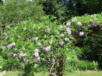 MAG_Amethyst Falls  wisteria blooms on new wood so is not bothered by cold winters.jpg