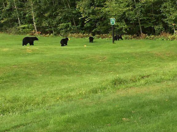 10092021 golf bear cubs