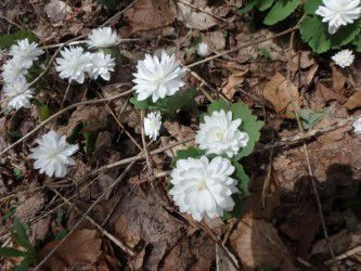 05152021 Homeyer MAG_Double bloodroot