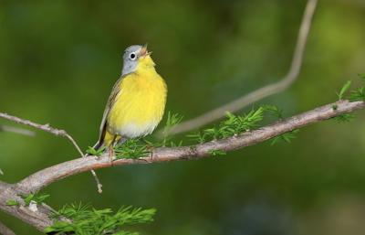0509 Of a FEATHER - Nashville warbler singing COURTESY WILLIAM H. MAJOROS