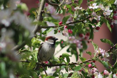 05152021 Of a Feather English sparrow