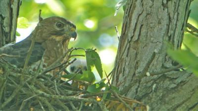 08012020 FEATHER - Broad-winged hawk on the nest with young. COURTESY ANDY REAGO & CHRISSY MCCLARREN