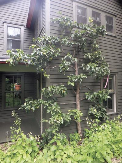 Training Trees To Grow Espalier Lifestyles Eagletimes Com