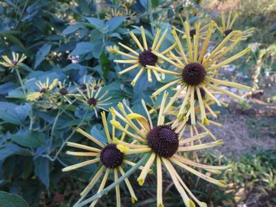 MAGHenry Eiler Rudbeckia blooming in October.jpg