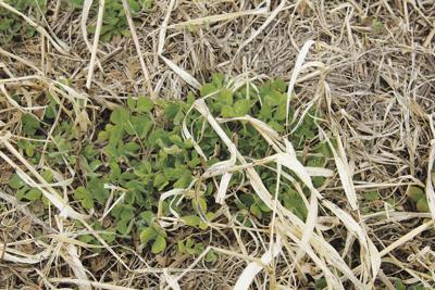 09052020 Bramblings Cover Crop Corn