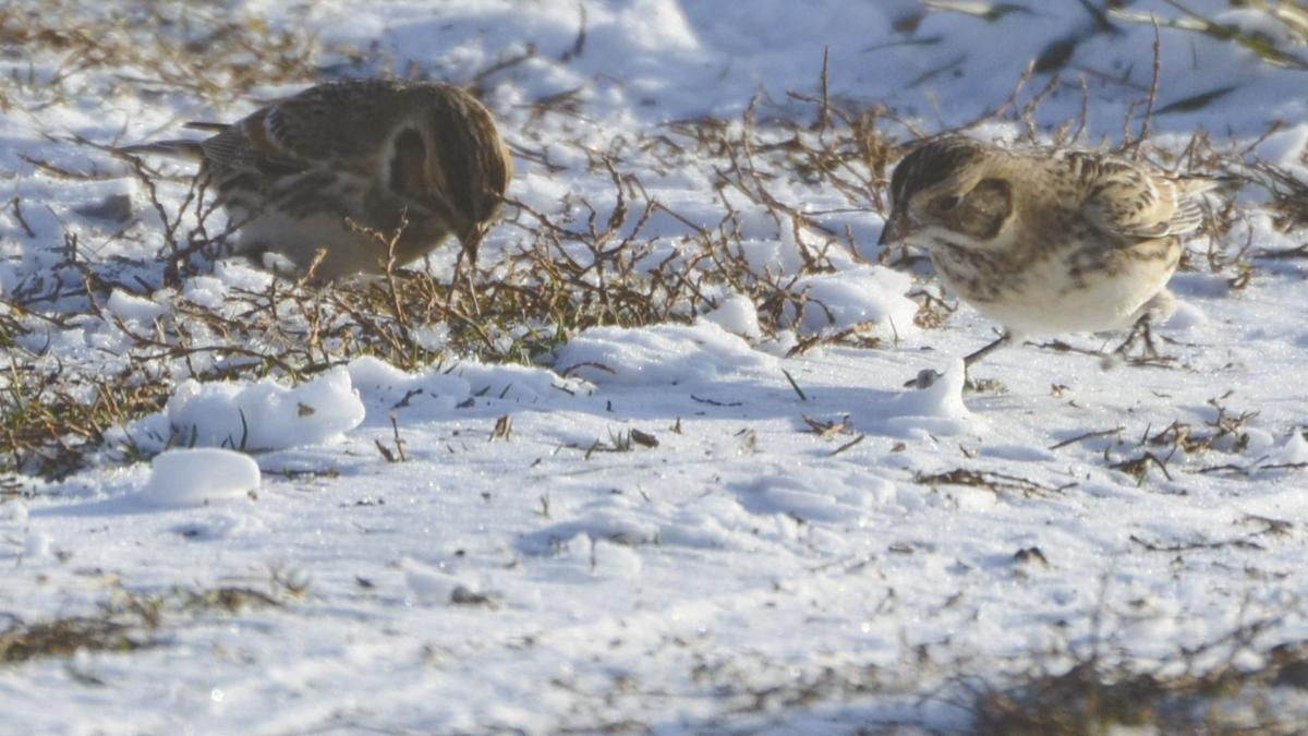 OF A FEATHER - Lapland_Longspur_(8329569709).jpg