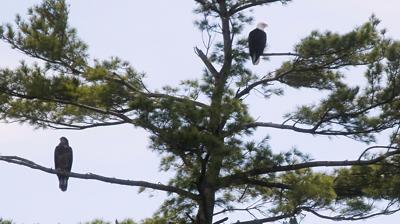 10092021 Bald Eagles Vermont