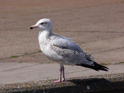 07172021 FEATHER Herring gull