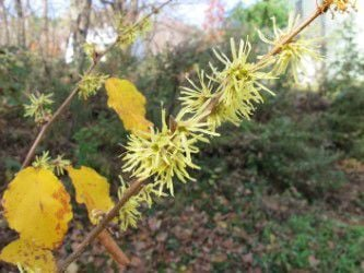 10172020 MAG_Witchhazel blossoms.jpg
