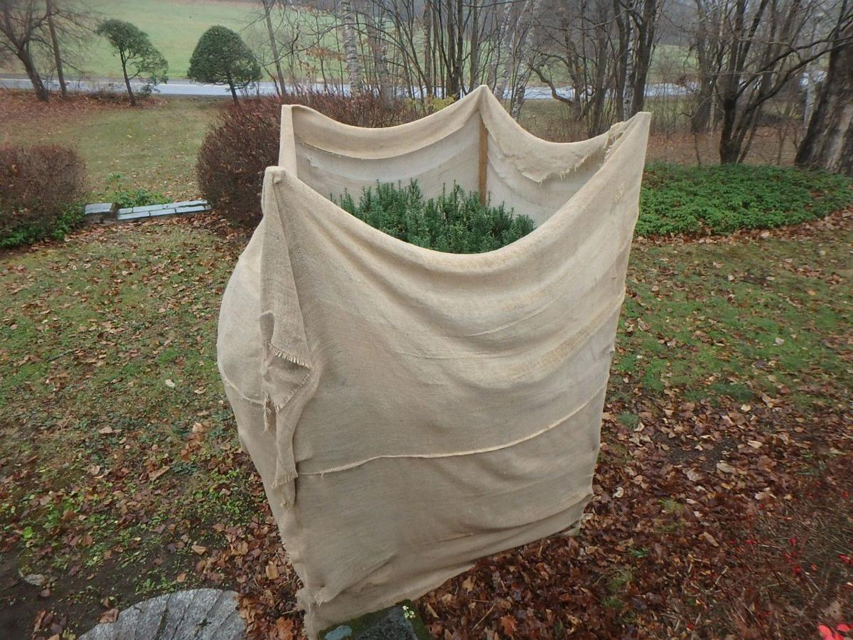 11212020 MAG_Burlap can be used to keep deer away from tasty shrubs.jpg