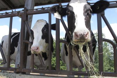 08012020 Virus Outbreak One Good Thing Cow Caretakers