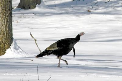 Report your winter wild turkey sightings in NH, Jan  1