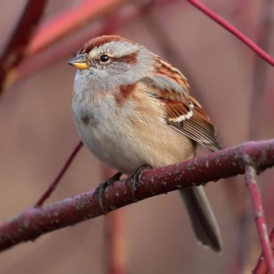 FEATHER - The American tree sparrow, the __winter chippie__. COURTESY MDF