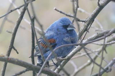 0516 FEATHER - Male blue grosbeak in Sutton COURTESY RIC VERME
