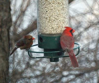 FEATHER - Female and male cardinals COURTESY MIKE'S BIRDS