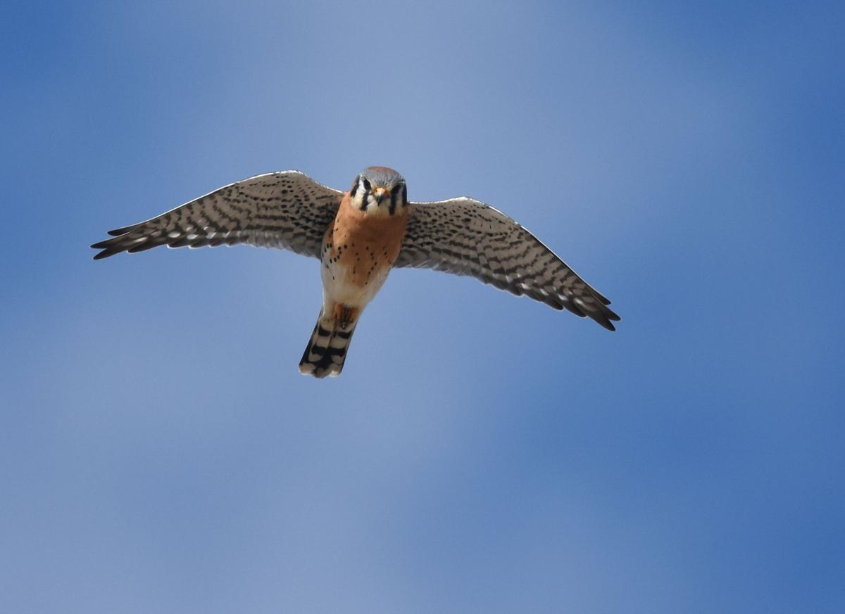The Kestrel The Smallest North American Raptor And Probably The Most Common Lifestyles Eagletimes Com