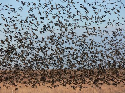 Flock of redwings