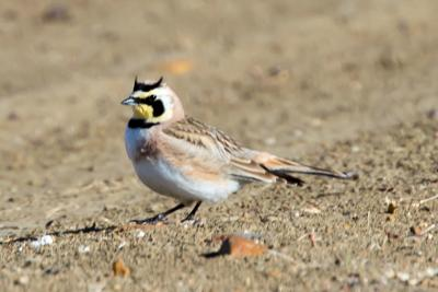 01092021 FEATHER The prairie subspecies of horned lark