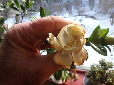 02202021 MAGl_Gardenias