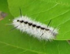 Fire department warns: Don't touch Hickory Tussock caterpillar