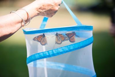 09122020 Monarch butterflies