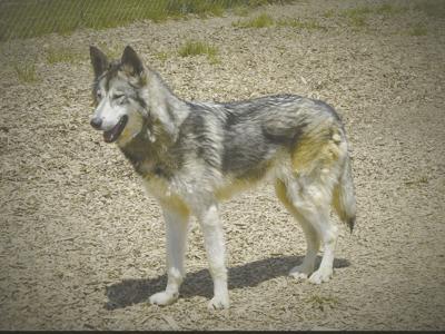 Regulating Wolf Dog Hybrids Rabies Is