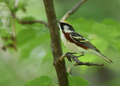 05222021 FEATHER - A male chestnut-sided warbler