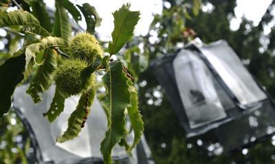 Genetically Engineered Chestnut