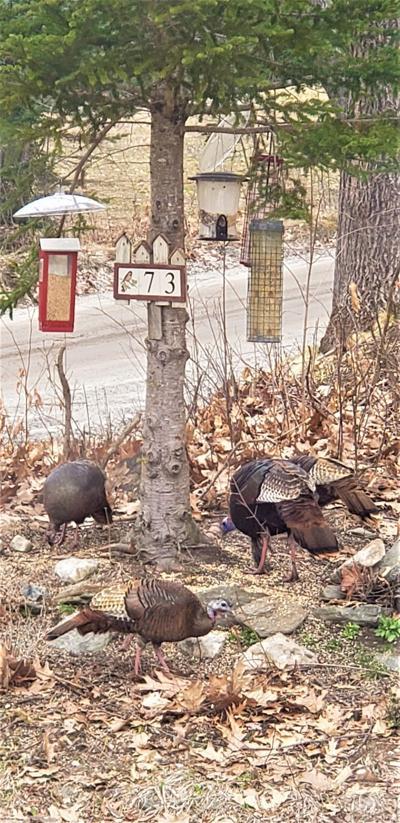 04032021 Bramblings A gaggle of turkeys surround the feeders