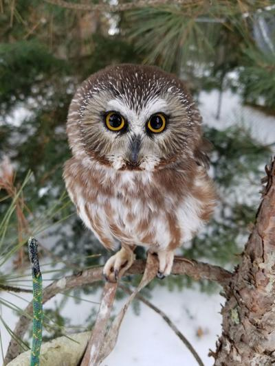 12192020 FEATHER The northern saw-whet owl