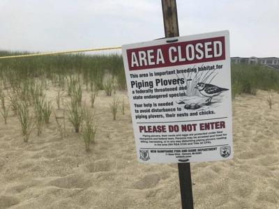 Piping plover eggs in Seabrook could hatch next week