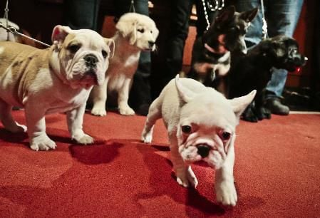 shoe sniffing frenchies