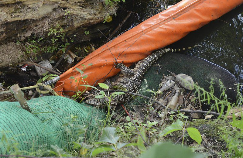 Woman finds reptile in Merrimack, mistakes it for alligator