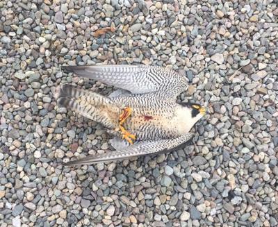 Salem, N H  police seek info about falcon shot dead in front