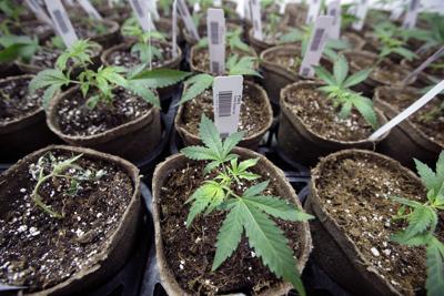 Legal Marijuana Massachusetts