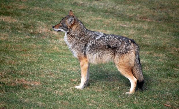 Coydog Nh: Coyotes Or Coywolves: Debate Grows Over Their True