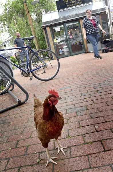 Wandering hen removed from city center