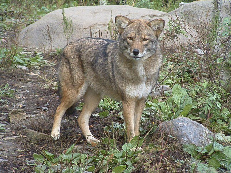 Coyote Population On Rise In Area Merrimack Valley