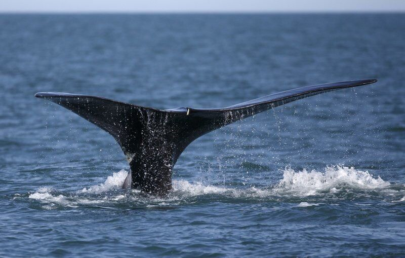 Tarr seeks more whale patrols to reduce entanglements