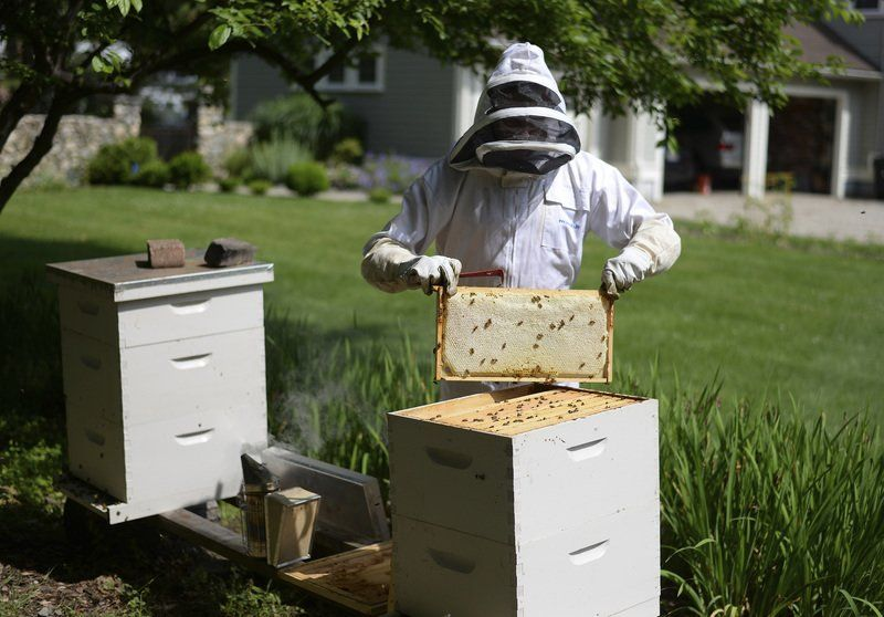 Backyard Beekeeping Grows In Popularity   With Little Oversight