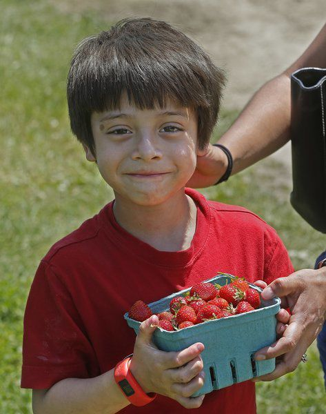 Visitors eat up strawberry fields