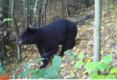Sightings confirm, it's the season of the bear