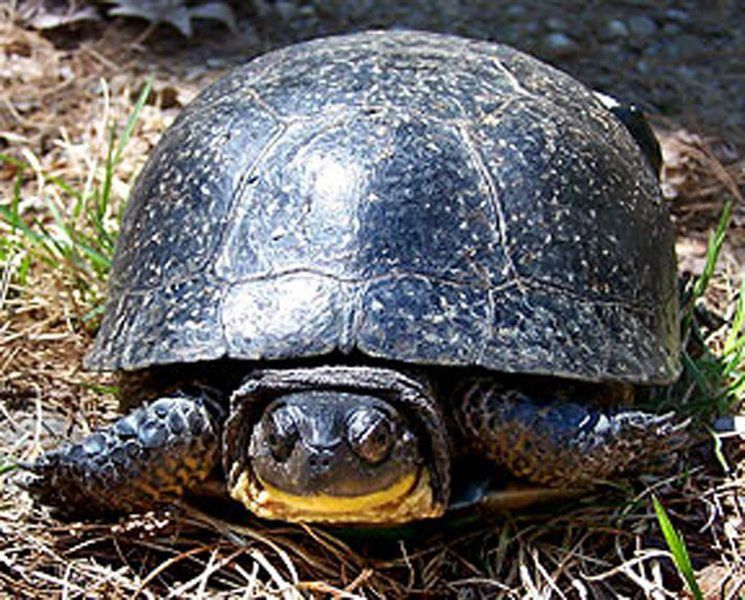 Nh to start turtle study at londonderry 39 s musquash news for Turtle fish games