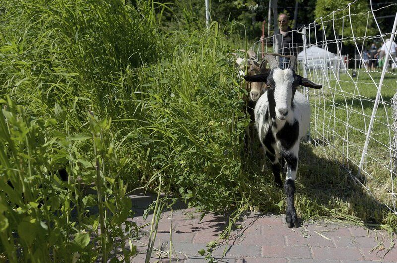 No kid-ing! Goats provide landscaping whimsy in Haverhill