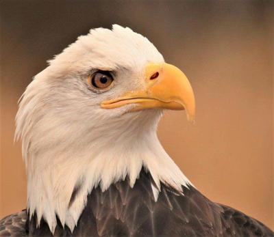 Welcome return for Eagle Festival's star attraction