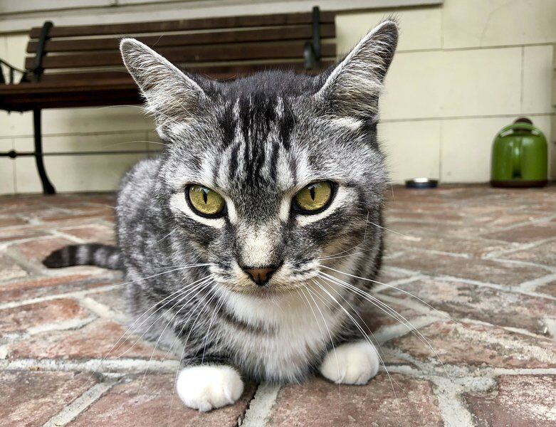 Pandemic love story: The whims of Kevin, our neighbors' cat