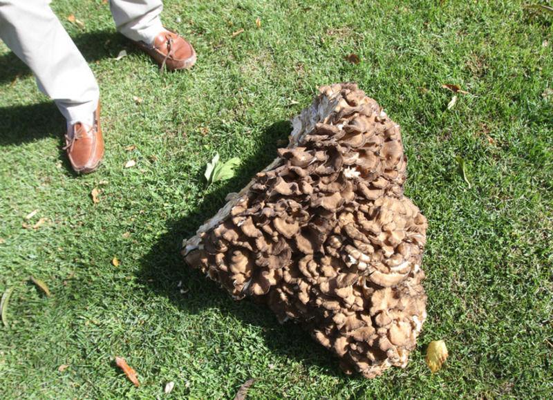 Salem man finds mammoth mushroom | Local News | eagletribune.com